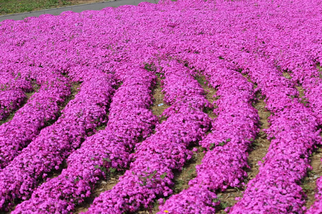芝桜画像1